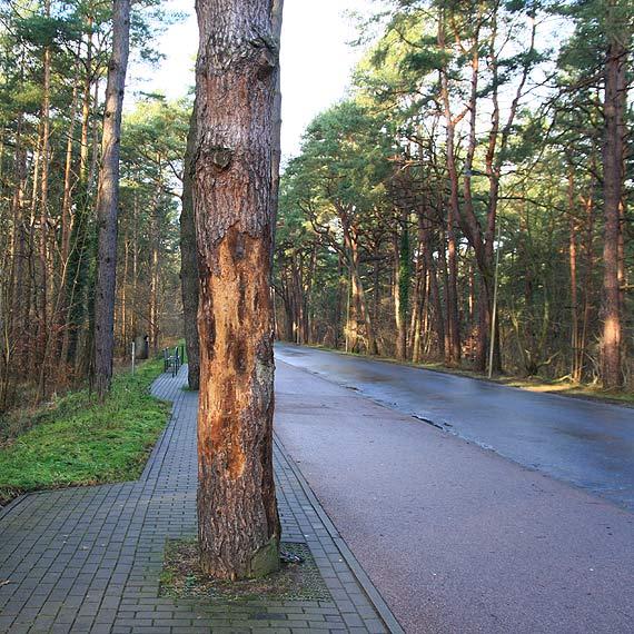 Czytelnik apeluje do urzędników: Usuńcie te drzewa zanim spadną komuś na głowę!