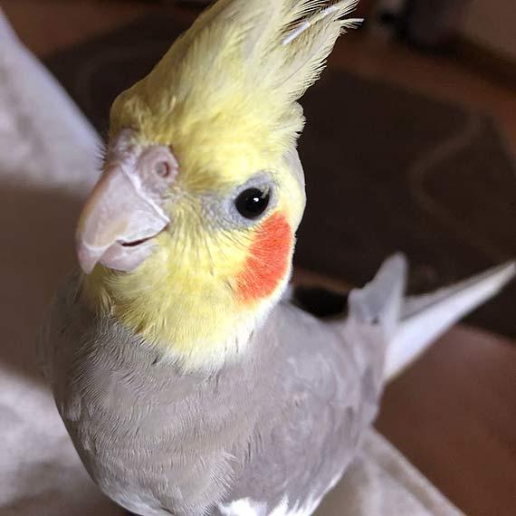 Papuga Mila poszukiwana