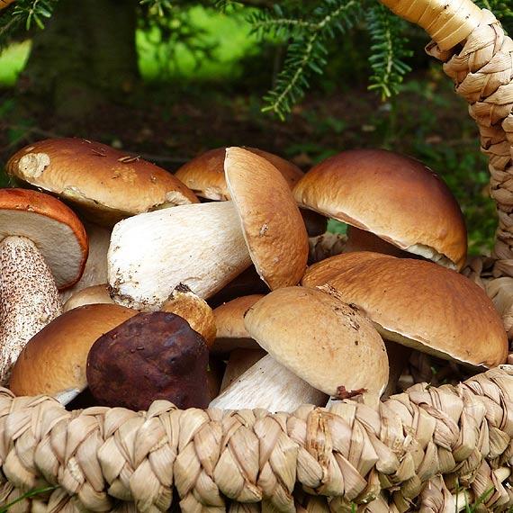 Borowik szlachetny - poznaj bogactwo zalet oraz wartości odżywczych borowików. Dowiedz się, jak zbierać borowiki i na co zwrócić uwagę przy zakupie grzybów...