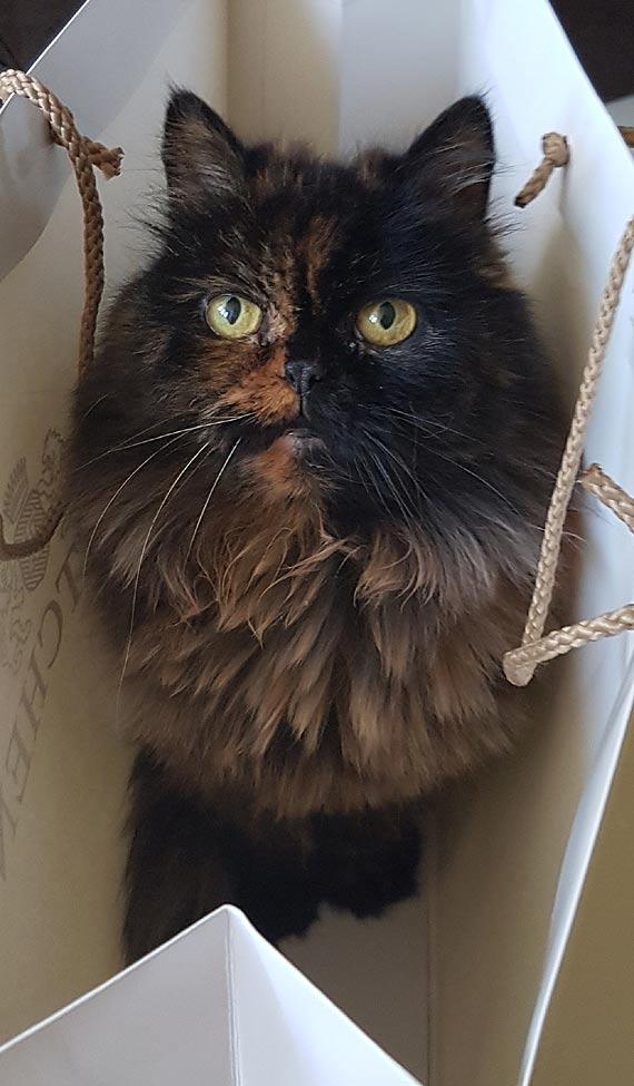 Zaginęła kotka perska
