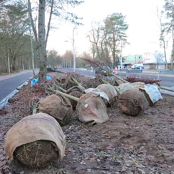 Ulica Wojska Polskiego. Posadzą nowe drzewa
