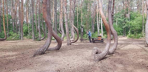 Krzywy las zyska nowe życie. Rewitalizacja Krzywego Lasu sposobem na zachowanie zamierających drzew