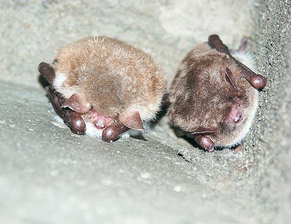 Spis nietoperzy w Puszczy Bukowej