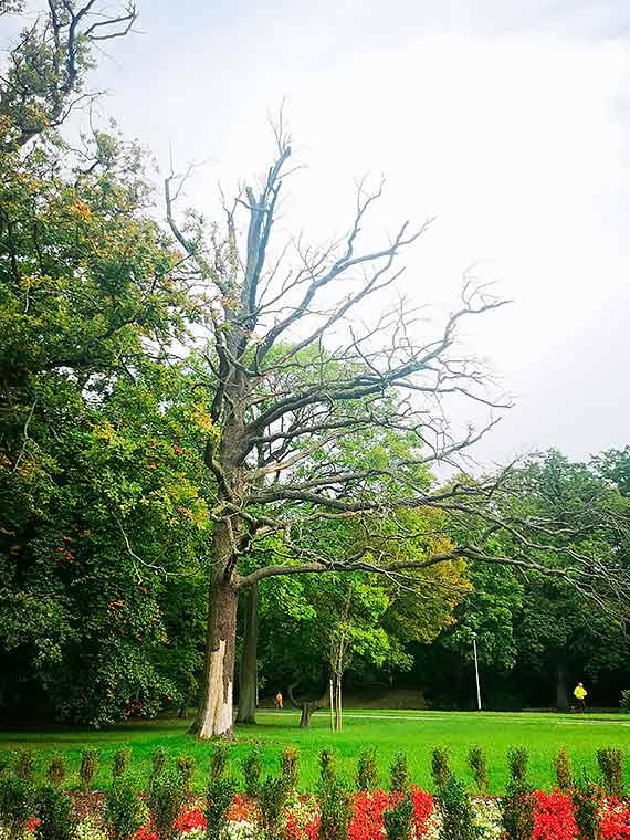 Mieszkaniec: Uschnięte drzewo czeka na ofiarę?